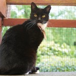 Black Cat in the Cattery at the Westerham site